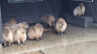今天雨好大啊..水豚君們一臉(´・_・`)躲雨ING