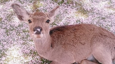 春限定日本櫻花小鹿~唉呀怎麼吃得滿臉都是花辦✿