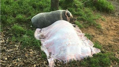野豬騎士走了,母豬躺墳前不肯離去
