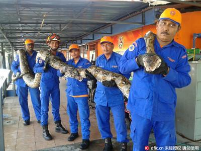 「世界最長蛇」馬國8公尺巨蟒