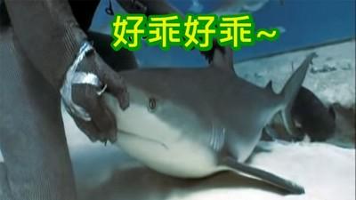 潛水夫間流傳的鯊魚催眠術!不如賭上生命來試試吧~