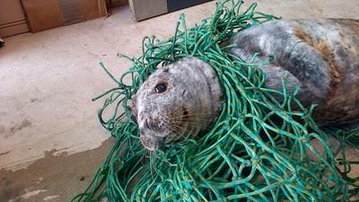 漁網纏身擱淺蘇格蘭海灘,熱心志工幫無辜海豹重返自由