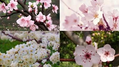 「桃李梅櫻」四種花超難分!原來只有櫻花花瓣有缺口