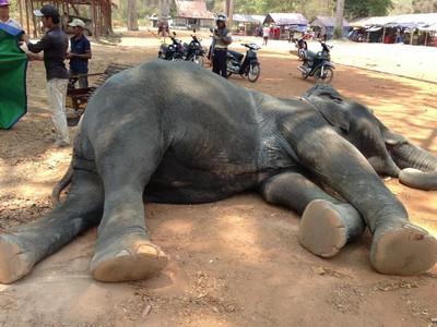 吳哥窟將禁騎大象!母象3年前載客活活累死