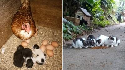 母雞帶小貓!貓媽媽在雞窩生產,母雞接手照顧小貓