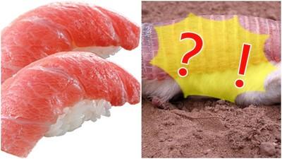 沙地出現鮪魚壽司!?不對啦人家是倭犰狳><