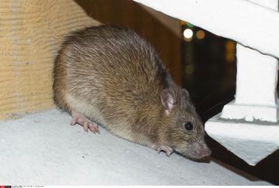 實驗證明老鼠也有同理心!強烈學習動機救了夥伴一命