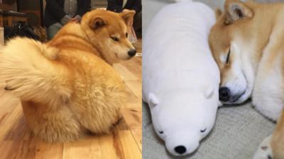《柴犬丸太郎主題館》可以買到牠玩過的抱枕耶(〃∀〃)
