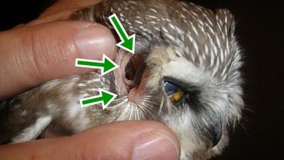 「微噁透視」貓頭鷹,翻開耳朵就是眼球內側!!