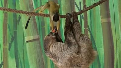 樹...懶...吃...午...餐...猴囝仔跑來一把就搶走了