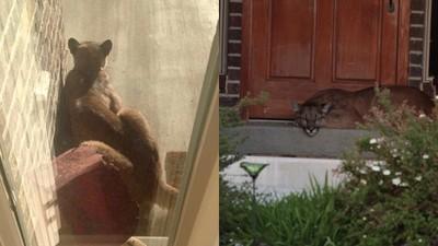 以為狗狗跑到家門口午覺,敲窗轉頭的…卻是「大貓」!