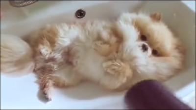 小博美縮洗手台吹毛ing~這8秒是我人生最巔峰(*´д`*)