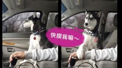 快摸我!不顧主人要開車,哈士奇萌掌出擊討「揉胸」