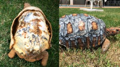 沒有殼要被安樂死的烏龜,因為3D列印又能再活100年啦