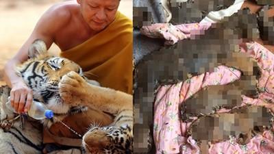為賺觀光財,泰國廟方殘忍冷凍40具幼虎屍