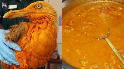 野外發現橘海鷗,不是突變!而是一場與咖哩雞的生死戀