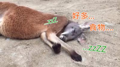 傻袋鼠夢到「好多食物」~醒來發懵:我怎麼兩手空空QQ?