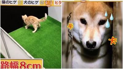 貓vs狗的空間概念測試...柴柴果然被卡死死的啊