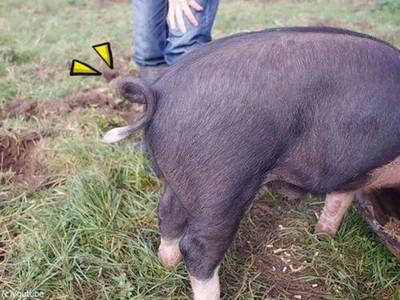 如何讓QQ的豬尾巴伸直?請伸出食指往這裡按下去