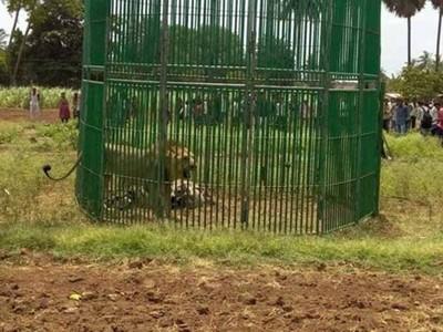 印度人跟風找獅子自拍,害慘亞洲獅從此失去自由身