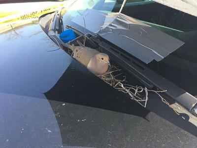和平母鴿窩警車孵育,員警充當孩子爸每天送蟲餵全家