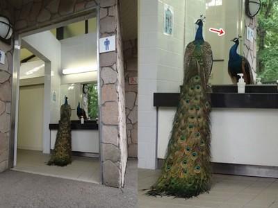 藍孔雀愛漂亮闖廁所照鏡!遊客:還知道要去男廁
