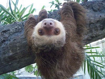 關於樹懶的8個冷知識,陸上慢吞吞~水中開外掛