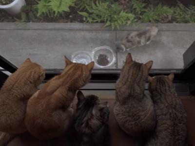 眾喵大哥關注中用膳,幼貓小偷入侵庭院被抓包下場是..