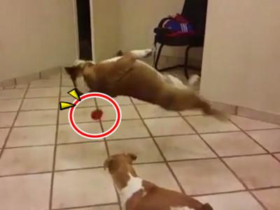 好笨!鬥牛犬想接球球,結果跳、接、落地通通失敗..XD