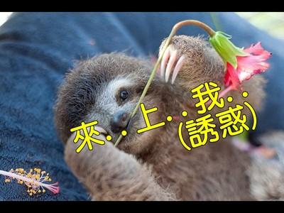 慢吞吞樹懶如何求偶交配?專家:快...來...上...我...