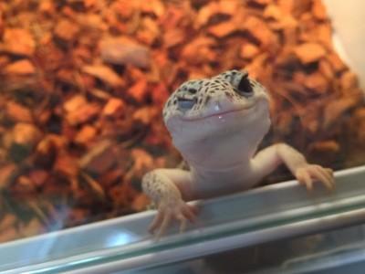 「啾咪顏」小壁虎,俏皮模樣會讓你一秒愛上爬蟲類!