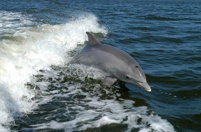 鯨豚也會悲傷! 研究發現:牠們會為逝世同伴哀悼