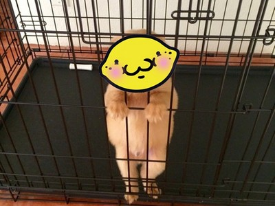 「放我出去~♥」小黃金臉太笨,你捨得讓牠在籠裡嗎><