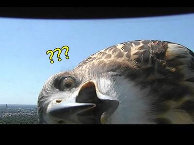 歪頭張大嘴「好奇老鷹」,你絕對沒看過大鳥這麼萌!