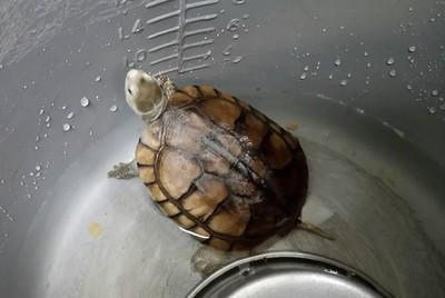 這麼剛好?民眾認養烏龜 不小心養到保育類「柴棺龜」