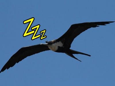 海鳥「一邊睡覺一邊飛行」?閉上眼睛能飛三天三夜!