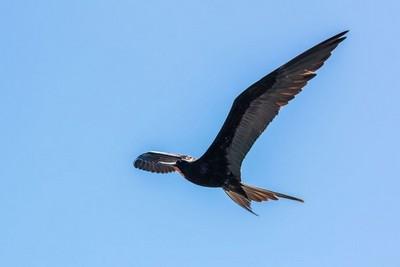 神奇海鳥竟能「邊飛邊睡」 可連飛2個月都不落地