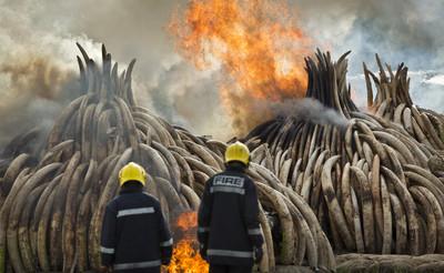 獵殺使非洲大象公園9成母象無象牙