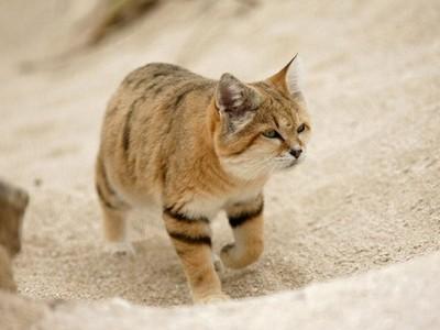瀕臨絕種喵星人,絕跡十年「沙丘貓」再現人間