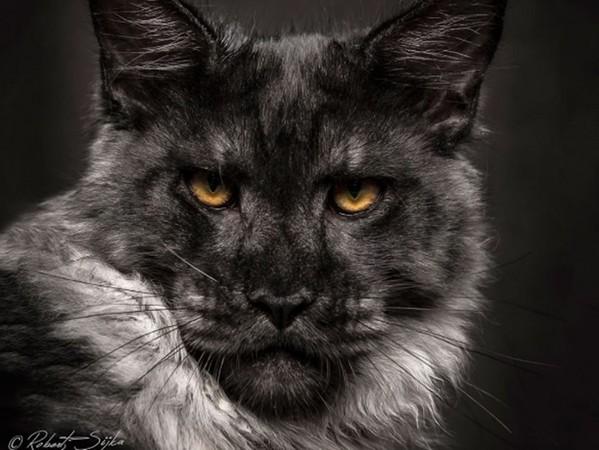 「緬因貓」氣勢藏不住!殺氣太強根本神獸吧?