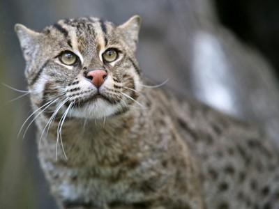 住河邊的喵星人!超罕見「爪哇漁貓」豹紋有蹼會潛水