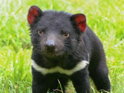 人類救星?抗癌20年「惡魔袋獾」演化出逆天基因