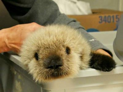 海邊奄奄一息的海獺寶寶,全力搶救找回萌萌笑好牽心