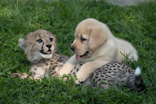 チーターと仔犬