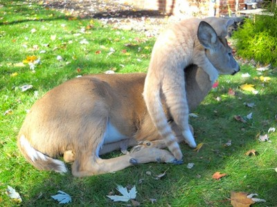跨越種族的情誼,喵星人爬上鹿頭,收服對方當坐騎!