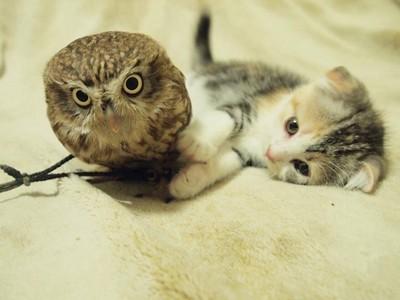 貓與貓頭鷹的咖啡廳,到底是會成為食物還是朋友?
