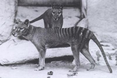 背像斑馬臉像狐狸!消失83年袋狼疑未絕種