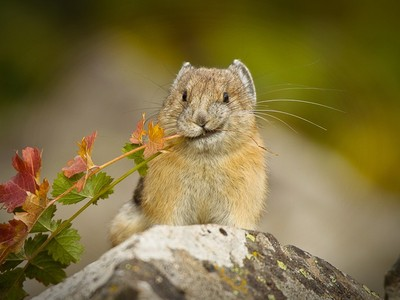 被中國視為有害物種…真實版皮卡丘「鼠兔」遭撲殺!