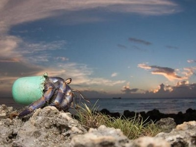 垃圾堆中找到家,寄居蟹流行撿瓶蓋當新家?