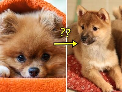 把博美「剪成柴犬」會發生什麼事?嗯..有點像不倒翁